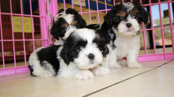Precious CavaTzu Puppies For Sale, Georgia Local Breeders, Near Atlanta, Ga