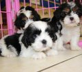Cavatzu puppies for sale in Georgia (1)