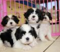 Cavatzu puppies for sale in Georgia (2)