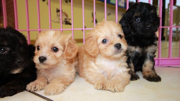Cuddly Cavapoo Puppies For Sale, Georgia Local Breeders
