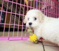Mini Poodle Puppies for sale in Georgia (10)