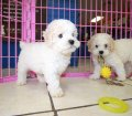 Mini Poodle Puppies for sale in Georgia (12)