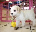 Mini Poodle Puppies for sale in Georgia (2)