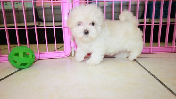 Happy Little Maltese Puppies For Sale, Georgia Local Breeders, Near Atlanta, GA