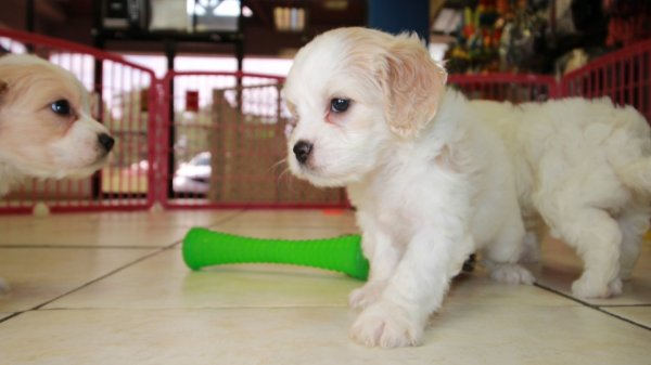 Cheerful Cavachon Puppies For Sale, Georgia Local Breeders, Near Atlanta, Ga