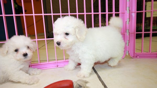 Happy Bichon Frise Puppies For Sale, Georgia Local Breeders