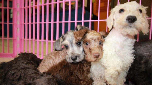 Schnoodle Puppies For Sale In Atlanta Georgia Ga Miniature