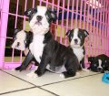 Boston Terrier puppies for sale in Georgia (12)