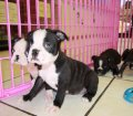 Boston Terrier puppies for sale in Georgia (13)