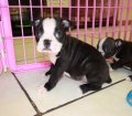 Boston Terrier puppies for sale in Georgia (14)