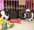 Boston Terrier puppies for sale in Georgia (18)