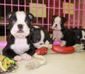 Boston Terrier puppies for sale in Georgia (21)
