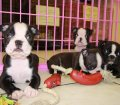 Boston Terrier puppies for sale in Georgia (22)