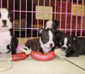 Boston Terrier puppies for sale in Georgia (23)