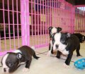 Boston Terrier puppies for sale in Georgia (4)