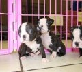 Boston Terrier puppies for sale in Georgia (9)
