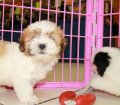 Teddy Bear puppies for sale in Georgia (11)