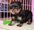 Yorkie Poo puppies for sale in Georgia (10)