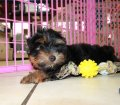 Yorkie Poo puppies for sale in Georgia (1)
