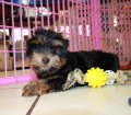 Yorkie Poo puppies for sale in Georgia (2)