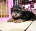 Yorkie Poo puppies for sale in Georgia (5)