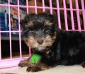 Yorkie Poo puppies for sale in Georgia (7)