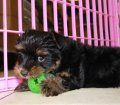 Yorkie Poo puppies for sale in Georgia (9)