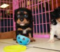 Cavalier King Charles Spaniel Puppies For Sale In Atlanta, Ga (11)