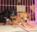Cavalier King Charles Spaniel Puppies For Sale In Atlanta, Ga (17)