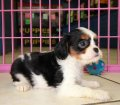 Cavalier King Charles Spaniel Puppies For Sale In Atlanta, Ga (19)