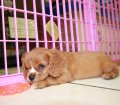 Cavalier King Charles Spaniel Puppies For Sale In Atlanta, Ga (1)