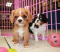 Cavalier King Charles Spaniel Puppies For Sale In Atlanta, Ga (3)