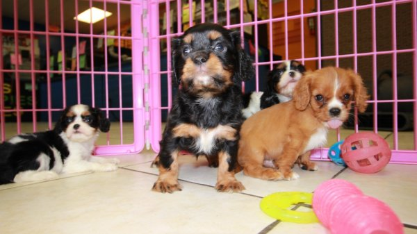 Happy Little Cavalier King Charles Spaniel Puppies For Sale, Georgia Local Breeders, Near Atlanta, Ga