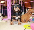 Cavalier King Charles Spaniel Puppies For Sale In Atlanta, Ga (4)