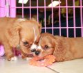 Cavalier King Charles Spaniel Puppies For Sale In Atlanta, Ga (7)