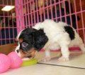 Cavalier King Charles Spaniel Puppies For Sale In Atlanta, Ga (9)