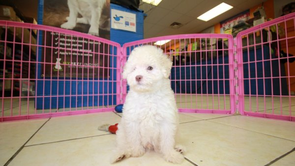 Beautiful Little White Poodle Puppies For Sale Georgia Local Breeders Near Atlanta Ga At