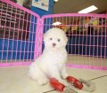 Toy Poodle puppies for sale in Georgia (8)