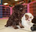 Toy Poodle puppies for sale in Ga (10)