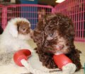 Toy Poodle puppies for sale in Ga (13)