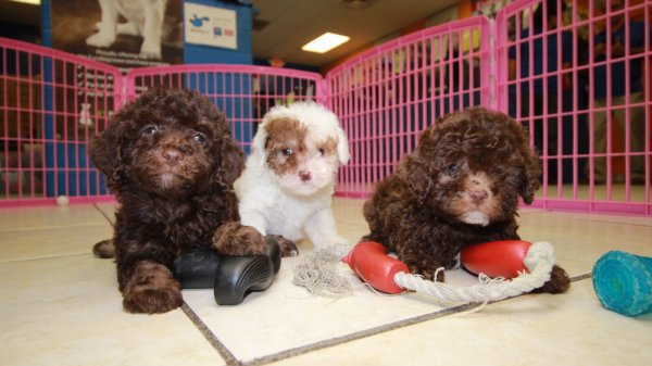 Adorable Little Chocolate Toy Poodle, Puppies For Sale, Georgia Local Breeders, Near Atlanta, Ga