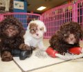 Toy Poodle puppies for sale in Ga (1)