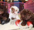 Toy Poodle puppies for sale in Ga (3)