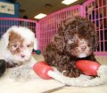 Toy Poodle puppies for sale in Ga (5)