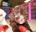 Toy Poodle puppies for sale in Ga (8)