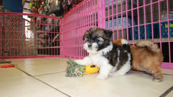Playful Little Teddy Bear Puppies For Sale, Georgia Local Breeders, Near Atlanta, Ga