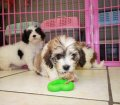 Cavachon puppies for sale near Atlanta Ga (1)