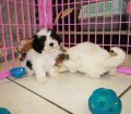 Cavachon puppies for sale near Atlanta Ga (3)