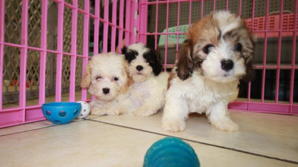 Beautiful Little Cavachon Puppies For Sale, Georgia Local Breeders, Near Atlanta, Ga