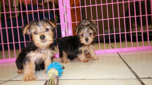 Spunky Little Morkie Puppies For Sale, Georgia Local Breeders, Near Atlanta, Ga